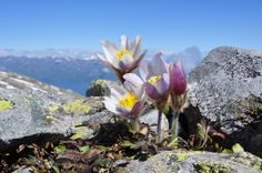 Rock Flowers, Colorful Flowers, Purple Flowers, Wild Flowers, Beautiful Flowers, Alpine Garden, Alpine Plants, Rock Plants, Different Kinds Of Flowers