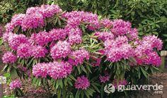 Rhododendro florido