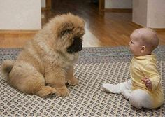 Purebred Chow Chow puppy and baby Pal