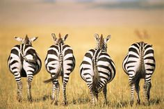 Zebras - The Smooth Guide to Animals and the English Language
