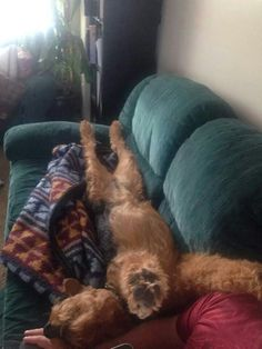 Airedale Sleep Position # 73