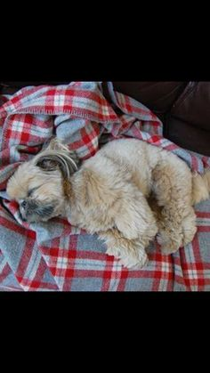 """See our web site for even more information on """"Chrysanthemum Dog"""". It is a superb spot to find out more. Teacup Puppies, Baby Puppies, Cute Puppies, Dogs And Puppies, Shih Tzu Puppy, Shih Tzus, Animals And Pets, Baby Animals, Cute Animals"""