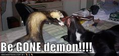 Exorcism via ferret