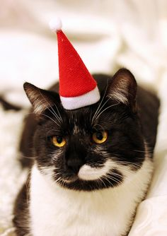 "Christmas Cat  -- ""You are correct, I am not particularly happy about this."""