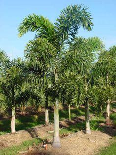 Palmeira Rabo de Raposa - Brasil Resultados da pesquisa de http://1.bp.blogspot.com/-V7CAZE5fNPI/Tb31_vcheRI/AAAAAAAAAAw/iswYUtBd_go/s1600/Palmeira_rabo_de_raposa.jpg no Google