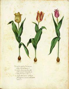 vintage botanical illustrations | Botanical illustration, medieval Italy by Ulisse Aldrovandi. Scan of 2 ...