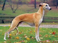 What's the Difference Between the Greyhound and the Whippet? | Modern Dog magazine