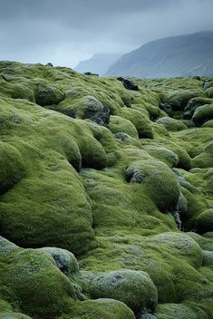 Lava fields covered with moss in Vestur-Skaftafellssysla, Iceland. DONT STEP ON THE MOSS!!