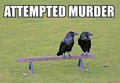 """Just winging this pun. (A flock of three or more crows is called a """"murder"""".)"""