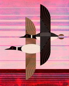 Common Loon, Gavia immer. One of a series of illustrations for the Bird Genoscape Project, which studies the migration patterns of bird populations using genetics.