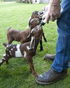dirtyminds and before/after - OhEmGee baby animals photos) : Goats - Funomenia Cute Baby Animals, Farm Animals, Nubian Goat, Goat Farming, Baby Goats, Farm Yard, Country Life, Country Living, Belle Photo