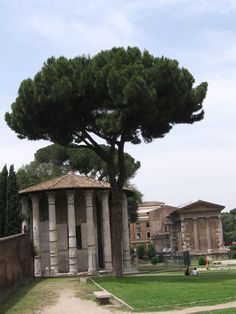 Pino al Foro Boario davanti al Tempio di Ercole Vincitore.Roma
