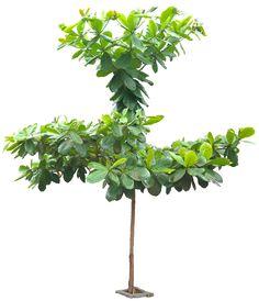 20 Free Tree PNG Images - terminaliacattapa05L