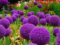 HOW TO GROW ALLIUM GIGANTEUM FROM SEED |The Garden of Eaden