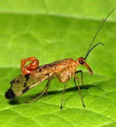 Mecoptera (scorpionflies): head elongate with slender mandibulate mouthparts…