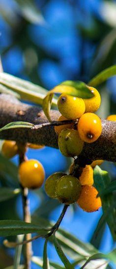 Plantarea arbustilor de catina - Casa și Grădina Belize, Beautiful Flowers, Home And Garden, Plant