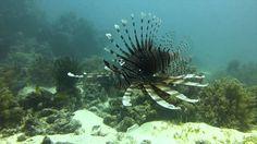 Scuba Diving Panglao Lionfish Balicasag Island   Pata Negra Dive Center Bohol, Scuba Diving, Bald Eagle, Island, Beach, Diving, The Beach, Islands, Beaches
