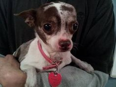 Cocoa is an adoptable Chihuahua Dog in Bogart, GA. Cocoa was from a breeding situation and not handled unless bred, It took her a long time before she would calm down around us, She still needs some w...