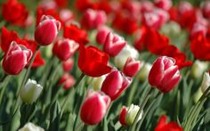 Flower Flowers Nature Orange Flower Tulips Wallpapers For Windows Wallpapers Flowers, Spring Flowers Wallpaper, Flower Wallpaper, Red Tulips, Tulips Flowers, Flowers Nature, White Flowers, Red Roses, Nature Nature