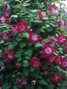 """Clematis Avante-Garde. Very unusual 3"""" red flowers with pink petaloid stamens giving the impression of a protruding trumpet. Extremely cold hardy, disease resistant, and floriferous. Blooms July to September. Height 10'. $14.95"""