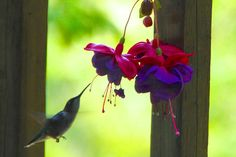Unlike most birds, hummingbird males only mate for a few seconds. Description from kathrynwarmstrong.wordpress.com. I searched for this on bing.com/images