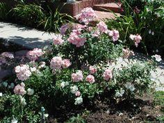 'Flower Girl ' Rose Medium, arching, bushy, spreading, thornless (or almost).  Medium, matte, light green foliage. Height of 4' to 5'. Sharon VanEnoo garden, Torrance, CA.