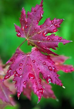 bright pink/red leaves with dew on a background of lush green - Folhas Dew Drops, Rain Drops, Beautiful Flowers, Beautiful Pictures, Water Droplets, Tree Leaves, Pink Leaves, Leaf Art, Henri Matisse