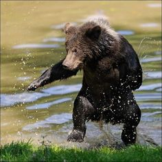 Funny Animal Pictures - View our collection of cute and funny pet videos and pics. New funny animal pictures and videos submitted daily. Bear Pictures, Funny Animal Pictures, Funny Animals, Cute Animals, Wild Animals, Funniest Animals, Animal Funnies, Nature Animals, Cute Bear
