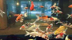 Fyuse - Wow #giz_fyuse #goldenfish #金魚