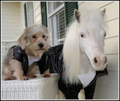 They are friendly with dogs and wear leather jackets. | 19 Reasons Why Therapy Mini Horses Are The Most Amazing Creatures Of All Time