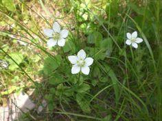 Sumpf-Herzblatt (Parnassia palustris L.) #Kleinwalsertal #Höhenweg #Mittelberg #geschützt. Den Namen Studentenröschen erhielt die Pflanze, weil Studenten ihrer Liebsten diese Blume brachten.