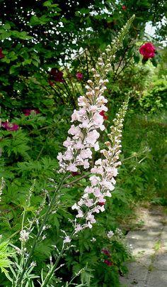 Linaria purpurea 'Canon J. Went'
