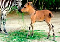 "Baby ""Zonkey"" With a Donkey's Body and Cute Zebra Legs"