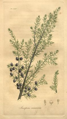 "heaveninawildflower: ""Juniperus communis (Common Juniper). Illustration from 'American Medical Botany' by Jacob Bigelow. Published 1817 by Cummings and Hilliard. Missouri Botanical Garden Biodiversity..."