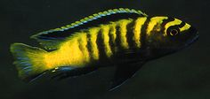 Pseudotropheus flavus