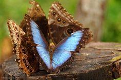 Blue Morpho butterfly in Gamboa