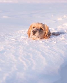 "20.4k Likes, 240 Comments - I Love Golden Retrievers (@ilovegolden_retrievers) on Instagram: ""Snow plough incoming ⛄️❄️ @lizzie.bear"""