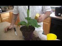 Growing Banana trees in pots is easy, if you're unable to grow it on the ground either due to lack of space or cold climate. Learn how to grow banana trees in this complete article. There are banana varieties that can withstand temperature drops and grows well in containers, popular especially amo…
