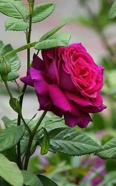 Uploaded by María José. Find images and videos about rose, rosa and flores on We Heart It - the app to get lost in what you love. Beautiful Flowers Wallpapers, Beautiful Rose Flowers, Pretty Roses, Flowers Nature, Exotic Flowers, Amazing Flowers, My Flower, Pretty Flowers, Red Flowers