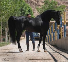 Black Persian Asil horse. Breeding of these animals was thought to bring spiritual & material gain to those who kept them. Interestingly, mares were prized over stallions, because during night raids they were less likely to make noise upon smelling other animals. Like many different types of Arabians, strains were developed by different families & breeders.