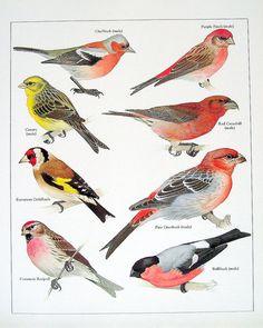 Bird Print Chaffinch Purple Finch Canary by mysunshinevintage