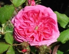 'Marechal Davoust' rose | Pink Moss, Historic Rose