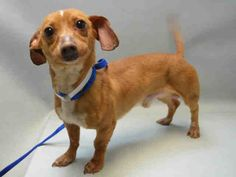 A1072139_RIMSHOT..MALE, TAN / WHITE, CHIHUAHUA SH / DACHSHUND, 3 yrs OWNER SUR – EVALUATE, NO HOLD Reason ATT PEOPLE Intake condition UNSPECIFIE Intake Date 05/01/2016, From NY 11420, DueOut Date 05/01/2016,