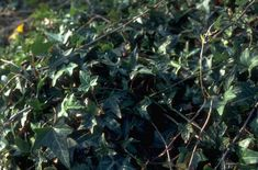 Find Help Information On Hedera Helix Pedata Bird S Foot Ivy From The Rhs