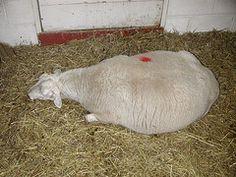 Milk fever-pregnancy toxemia in sheep and goats info #babygoatfarm