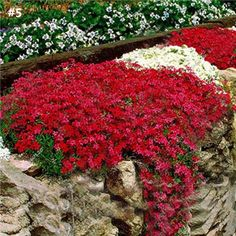 Plants for Rock Wall Landscapes Moss Phlox -- would love to have the Scarlet Flame cultivar growing on my rock wall.Moss Phlox -- would love to have the Scarlet Flame cultivar growing on my rock wall. Small Flower Gardens, Small Flowers, White Flowers, Blooming Flowers, Rock Flowers, Sun Flowers, Flowers Perennials, Planting Flowers, Flowers Garden