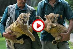 Getting Morning Love From The Lions Video #animals, #cats, #cute, #lions, #videos, https://facebook.com/apps/application.php?id=106186096099420