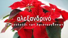 Τα Χριστούγεννα είναι η εποχή που συναντάμε παντού το αλεξανδρινό με τα εντυπωσιακά κόκκινα φύλλα. Όσα πρέπει να γνωρίζουμε για να το στολίσουμε όμορφο και λαμπερό στις γιορτές, καθώς και συμβουλές για την φροντίδα που χρειάζεται ώστε να το διατηρήσουμε στο σπίτι μας όλο το χρόνο!