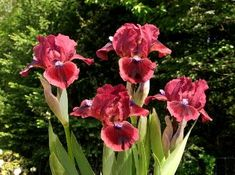 Google Image Result for http://www.irises.org/images/BC-CatsEyemediante-Black_small.jpg