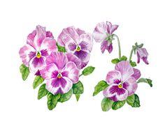 Pensée. Aquarelle, Art botanique, peinture botanique, peinture Fleur